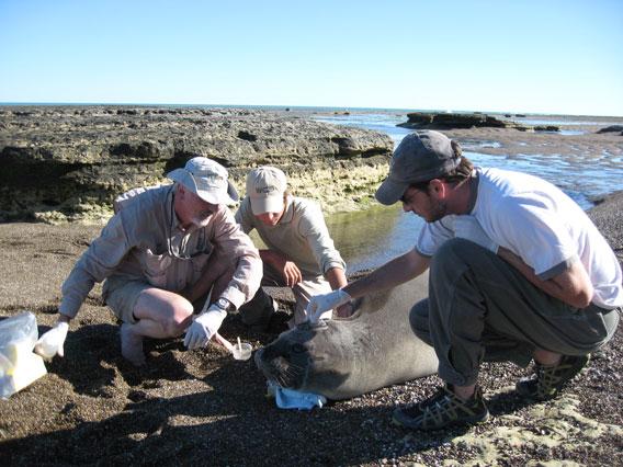 Campagna y su equipo etiquetan a un elefante marino. Foto por: Victoria Zavattieri.