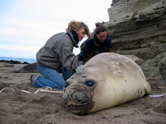 Victoria Zavattieri y Marcela Uhart de WCS marcando a un elefante marino. Foto por: Claudio Campagna.
