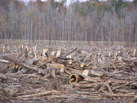 White Marsh Clearcut, outside of the Green Swamp, North Carolina, US. Photo by: Abigail Singer, courtesy of Dogwood Alliance.