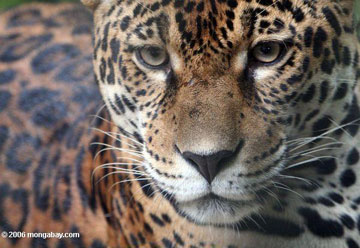 A jaguar. Photo by: Rhett A. Butler.