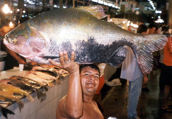The giant ytambaqui (Colossoma macropomum)  in Manaus Fish Market, Brazil. Photo by: Thorke Østergaard.