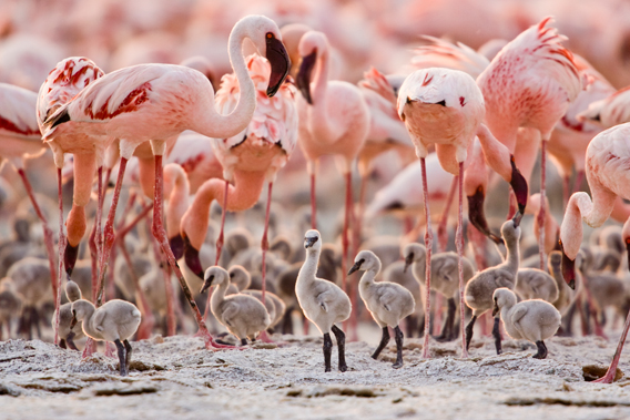 Breeding group of lesser flamingos, known as a creche. Photo ©  Anup Shah.