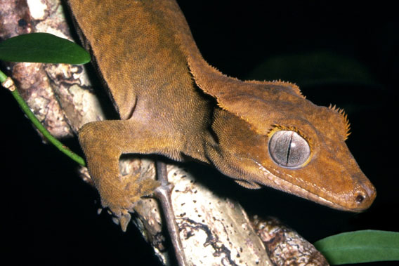 The Crested Gecko (Rhacodactylus ciliatus) has a restricted distribution and only occurs in Grand Terre and Ile des Pins, New Caledonia. This nocturnal gecko has been assessed as Vulnerable. The main threat within its range is habitat loss associated with logging, wildfires and the clearance of forests for agriculture. Predation by rodents and the impact of the introduced ant Wasmannia auropunctata are other potential threats to the Crested Gecko. Monitoring of the current population and measures to control impacts of invasive species are needed. Photo by: Tony Whitaker.