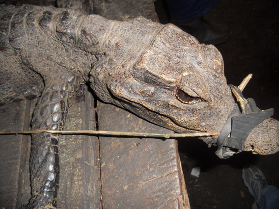 African slender-snouted crocodile caught by hunters. Photo courtesy of ESI.