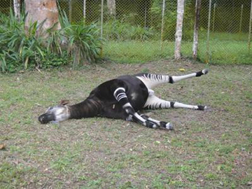 one of the killed okapis. Photos courtesy of UNESCO.