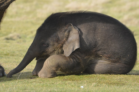 Tired calf. Photo courtesy of ZSL Whipsnade Zoo.