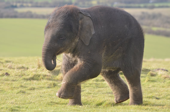 Four-month-old Scott prancing about. Photo courtesy of ZSL Whipsnade Zoo.