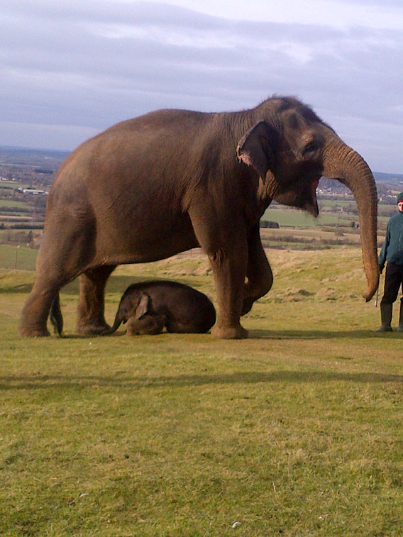 Calf scott and mother Azizah on their walkabout. Photo courtesy of ZSL Whipsnade Zoo.