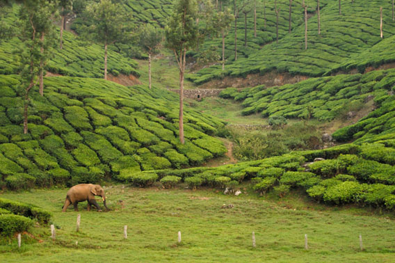 MAn Asian elephant wanders through tea fields.