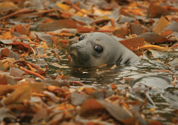 Young elephant seal. Photo by: V. Falabella.