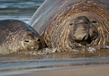 Elephant seals. Photo by: W. Conway.