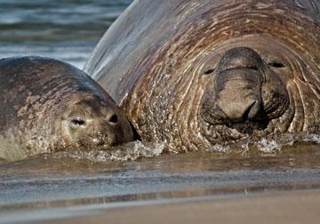 Elefantes marinos. Foto por: W. Conway.