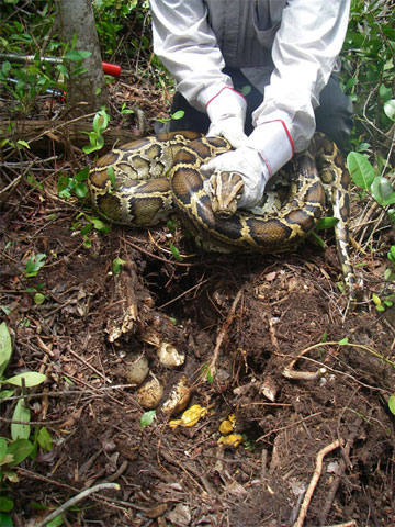 Invasive Burmese python on her nest in South Florida.