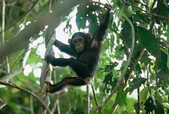 Republic of the Congo expands park to protect fearless chimps