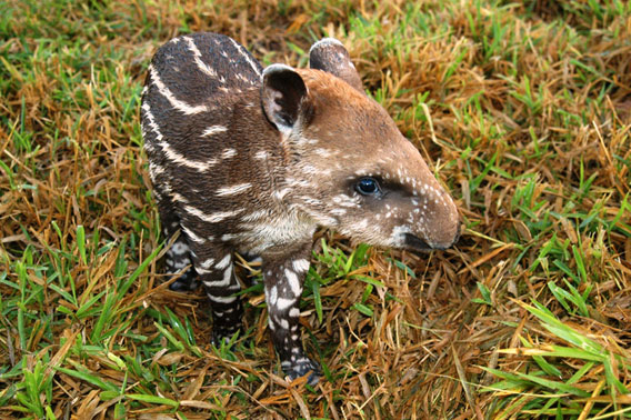Lowland tapir calf at breeding center in Goiás State, Brazil. Photo by: Liana John.