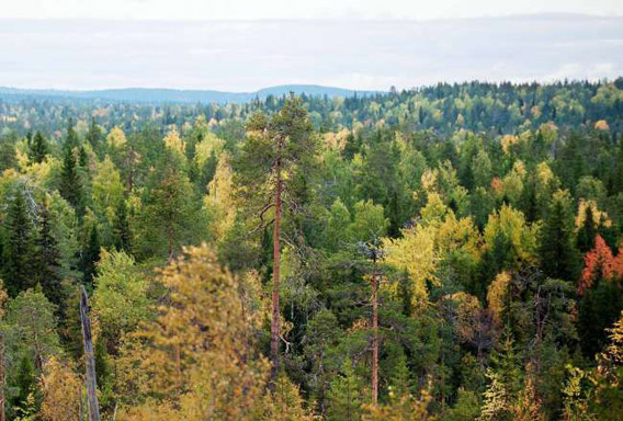 Intact old-growth forest on land leased by IKEA/Swedwood in Russian Karelia. Photo © Robert Svensson, Protect the Forest 2011.