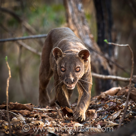 The fossa. Photo © Nick Garbutt .