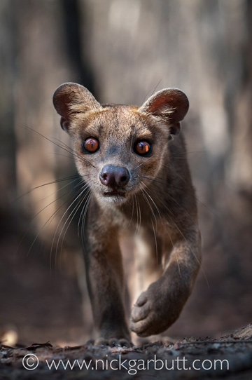 The fossa. Photo © Nick Garbutt.
