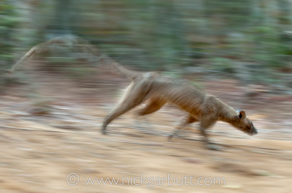 Fossa on the run. Photo by: Nick Garbutt.