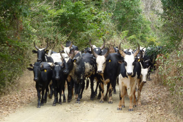 The zebu, Malagasy cattle, as an important feature of Malagasy culture poses another serious threat to Madagascar's biodiversity. In order to support their big zebu herds with fresh grass, farmers burn down forested areas to turn them into savannah.Photo © Melanie Dammhahn.