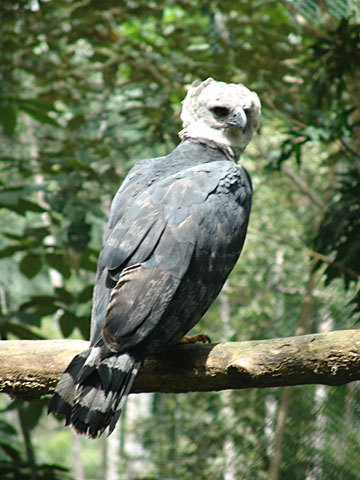 Harpy eagle in project area. Photo courtesy of William Laurance.