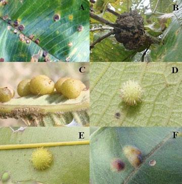 Insect galls on plants in Brazil's cerrado. Photo by: © Walter Santos de Araújo.