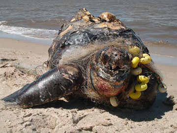 Una tortuga Laud, especie en Peligro Crítico enredada por la pesca fantasma, por ejemplo: lesionada o muerta por las redes que los pescadores descartan en el mar. Foto por: A. Fallabrino.