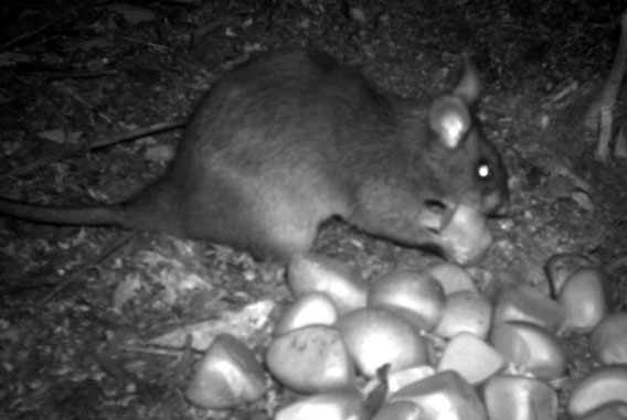 Kivu giant pouched rat caught on camera trap eating a seed of Carapa grandiflora. Photo by: Aisha Nyiramana.