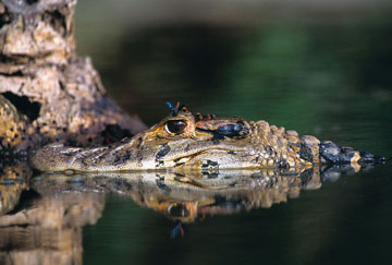 Black caiman are known to prey on giant river otters. Photo by: Frank Hajek.