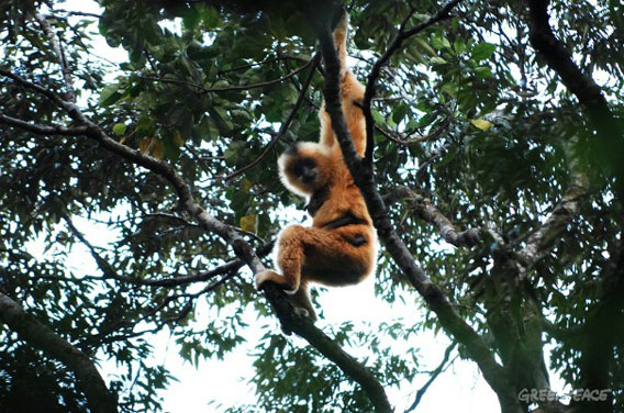 One of the very last Hainan gibbons (Nomascus hainanus), this one is a female. Photo courtesy of: Greenpeace.