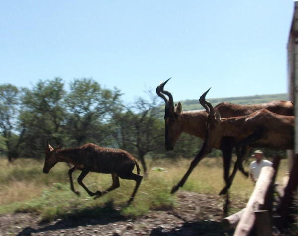 Red hartebeest release. Photo courtesy of Colchester Zoo: Action for the Wild.