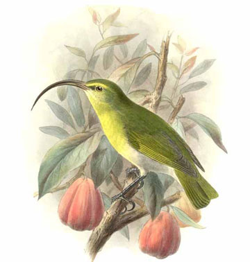 Illustration of the greater Akialoa, rediscovered and then lost again for good. The last record was 1969. Illustrated by: Johannes Gerardus Keulemans.