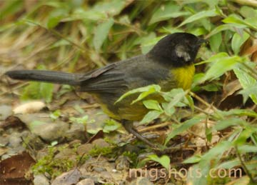 A Santa Marta brush finch (iAtlapetes melanocephalus/i), which is endemic to Colombia. Photo by: Miguel Hernandez.