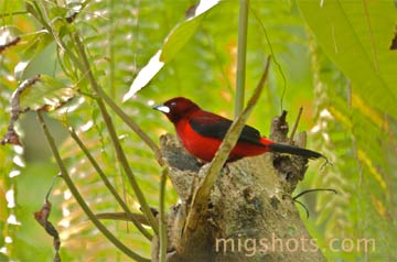 Silver-beaked Tanager (iRamphocelus carbo/i). Photo by: Miguel Hernandez.