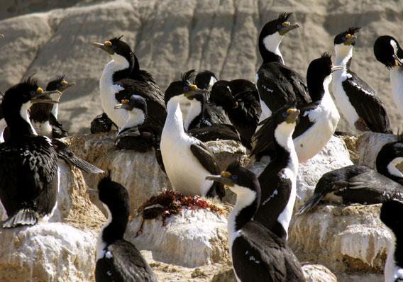 Cormorán imperial en el Mar de Patagonia. Foto por: Victoria Zavattieri.