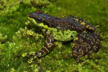 Amolops tuberodepressus, a frog species endemic to China. Photo by: Jodi J. L. Rowley/Australian Museum.