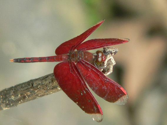 Neurothemis stigmatans is one among the most common Halmaheran dragonflies. Photo: Dmitry Telnov, 2007.