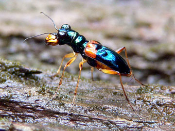 Tiger beetle (Therates sp.): Misool island, Raja Ampat. Photo by: Dimtry Telnov, 2009.