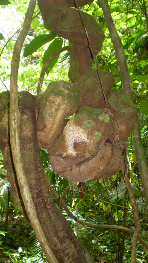 Uniquely shaped vine in Nantu. Photo by: Tim O'Brien.