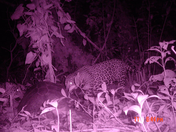 A camera trap catches jaguars feeding on a marine turtle at night when the fateful encounter occurs. Photo courtesy of: Diogo Veríssimo.