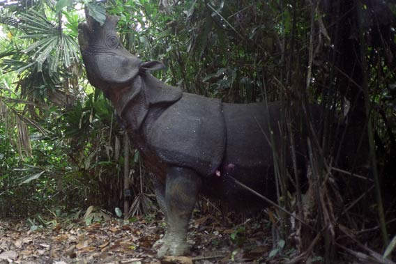 A Javan rhino (Rhinoceros sondaicus) captured on a camera trap browses for food. Javan rhinos are herbivores and eat around 110 lbs of food daily. Photo courtesy of WWF.