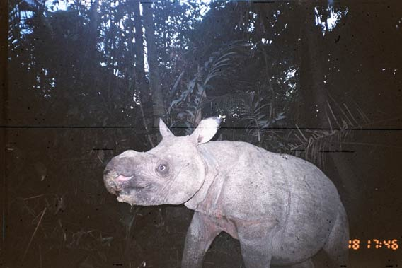A baby Javan rhino captured on a camera trap in Ujung Kulon National Park. Mature female Javan rhinos breed only once every four or five years. Photo courtesy of WWF.