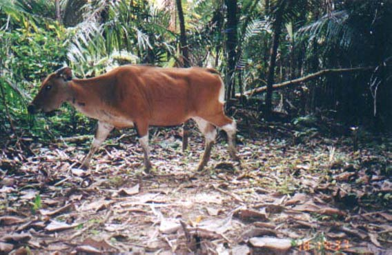 The Javan rhino share Ujung Kulon National Park with a globally significant population of Endangered banteng; a wild cattle and ancestor of domestic cows in the region.  Photo courtesy of WWF.