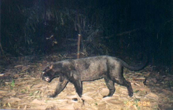 A melanistic (or black) leopard passes in front of a camera trap in Ujung Kulon National Park.  Spotted and melanistic leopards are both found in the park. Photo courtesy of WWF.