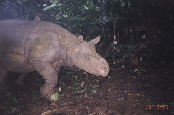 A camera trap captures a Javan rhino (Rhinoceros sondaicus) in the wild. The Javan rhino is the world's most endangered. Less than 60 survive in a single location in Java.  A subspecies may survive in Vietnam, but if so only a few individuals. Photo by: World Wildlife Fund (WWF).