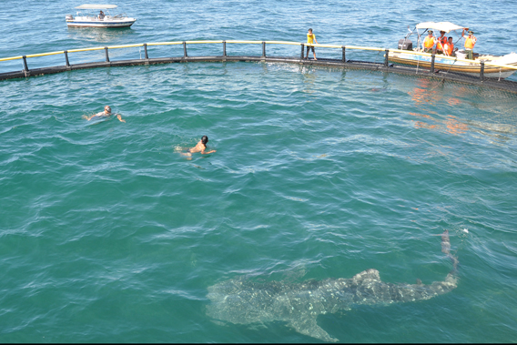 Juvenile whale shark just before release. Although a juvenile the animal already weighed a ton. Photo by: Sea Turtles 911.