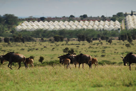 Wildebeest migrating past a huge greenhouse flower farm. Photo by: Paula Kahumbu.