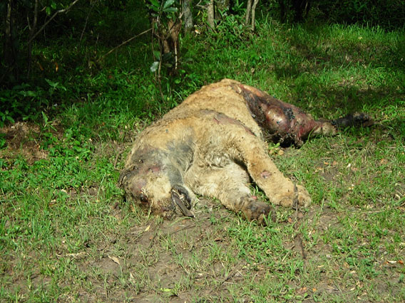 One of five lions poisoned because of conflict with pastoralists. Photo by: Paula Kahumbu.