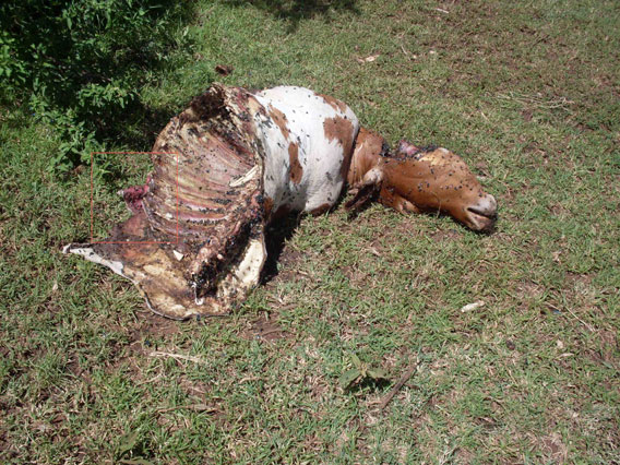 Cow preyed on by lions and then poisoned to kill lions in revenge. Photo by: Paula Kahumbu.