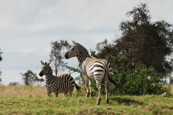 Two zebras separated by a fence. Photo by: Paula Kahumbu.